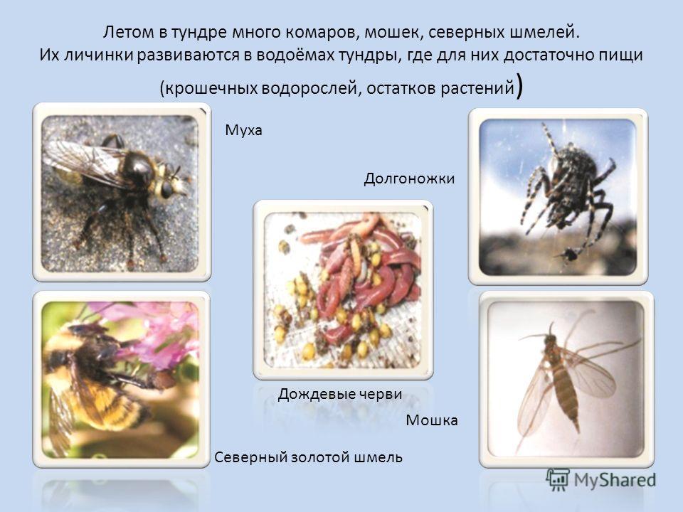 Летом в тундре много комаров, мошек, северных шмелей. Их личинки развиваются в водоёмах тундры, где для них достаточно пищи (крошечных водорослей, остатков растений ) Муха Долгоножки Дождевые черви Северный золотой шмель Мошка