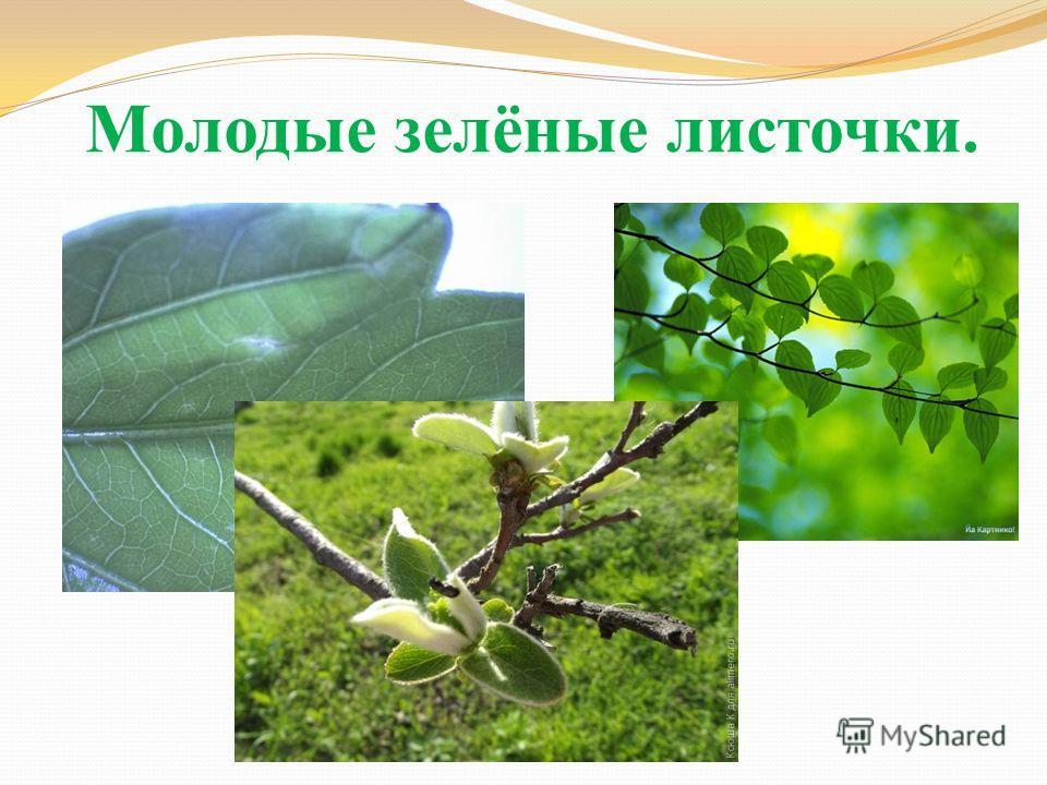 Молодые зелёные листочки.