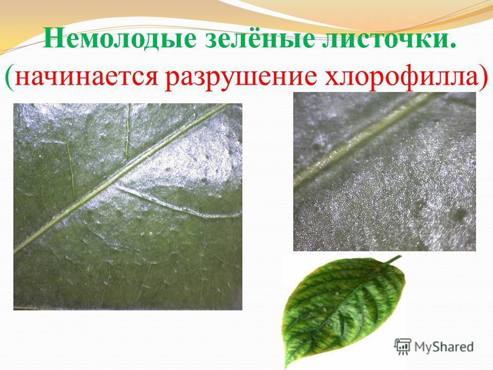 Немолодые зелёные листочки. (начинается разрушение хлорофилла)