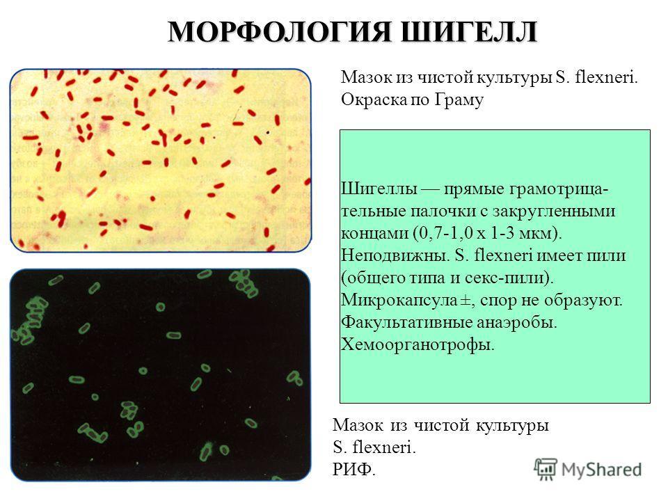 Мазок из чистой культуры S. flexneri. Окраска по Граму Шигеллы прямые грамотрица- тельные палочки с закругленными концами (0,7-1,0 х 1-3 мкм). Неподвижны. S. flexneri имеет пили (общего типа и секс-пили). Микрокапсула ±, спор не образуют. Факультатив