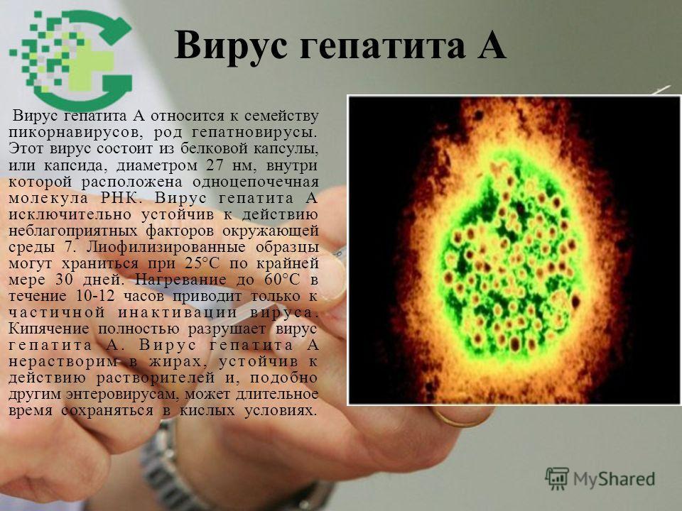 Вирус гепатита А Вирус гепатита А относится к семейству пикорнавирусов, род гепатновирусы. Этот вирус состоит из белковой капсулы, или капсида, диаметром 27 нм, внутри которой расположена одноцепочечная молекула РНК. Вирус гепатита А исключительно ус
