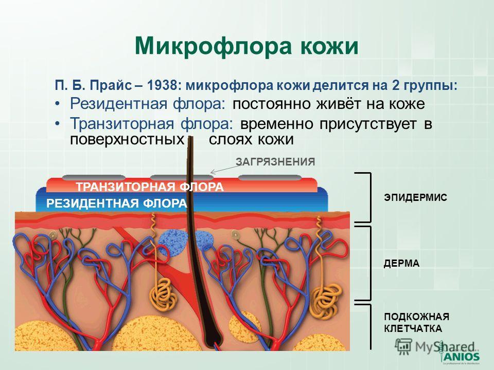 Микрофлора кожи РЕЗИДЕНТНАЯ ФЛОРА ТРАНЗИТОРНАЯ ФЛОРА ДЕРМА ЭПИДЕРМИС ПОДКОЖНАЯ КЛЕТЧАТКА П. Б. Прайс – 1938: микрофлора кожи делится на 2 группы: Резидентная флора: постоянно живёт на коже Транзиторная флора: временно присутствует в поверхностных сло