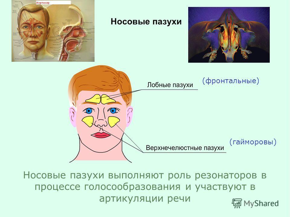(фронтальные) (гайморовы) Носовые пазухи выполняют роль резонаторов в процессе голосообразования и участвуют в артикуляции речи