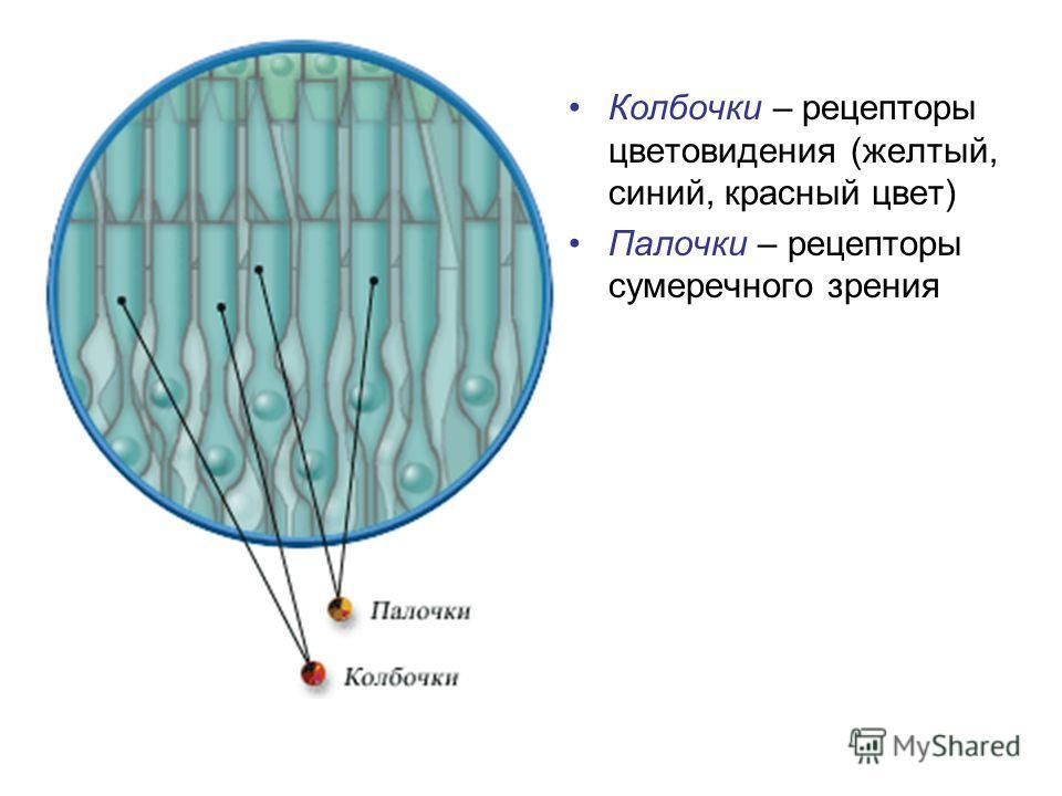 Колбочки – рецепторы цветовидения (желтый, синий, красный цвет) Палочки – рецепторы сумеречного зрения