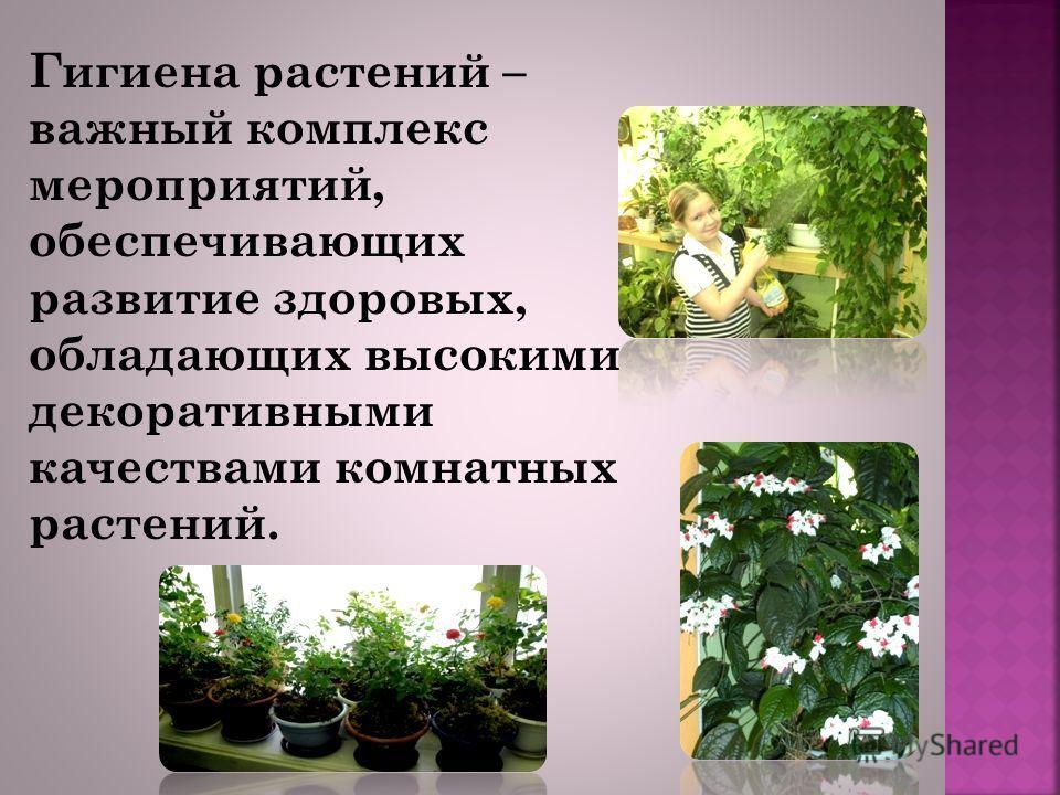 Гигиена растений – важный комплекс мероприятий, обеспечивающих развитие здоровых, обладающих высокими декоративными качествами комнатных растений.