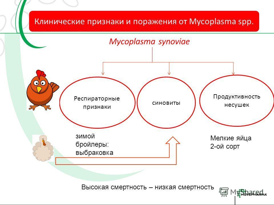 Mycoplasma инфекция Повышение чувствительнос ти к вторичным патогенам смертность Клинические признаки ЖВ КК Яичная продуктив ность снижение качества тушки поражение респираторно й системы (субклиника) Повышение чувствительнос ти реакции на вакцинации