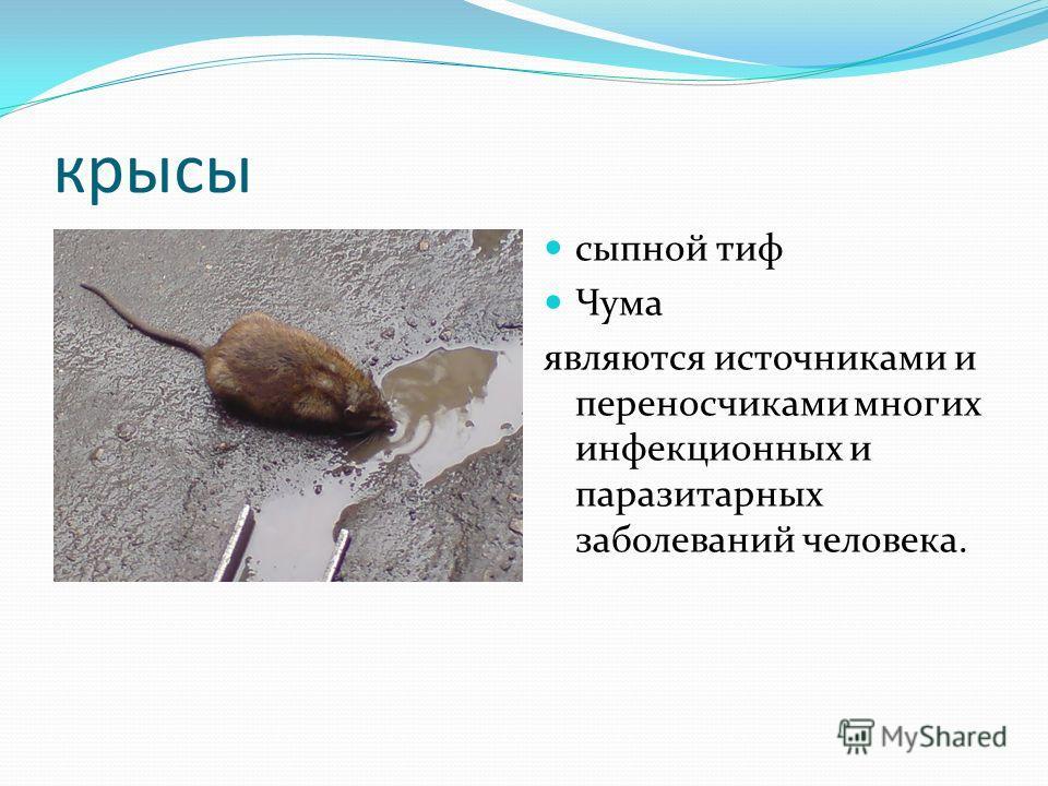 крысы сыпной тиф Чума являются источниками и переносчиками многих инфекционных и паразитарных заболеваний человека.