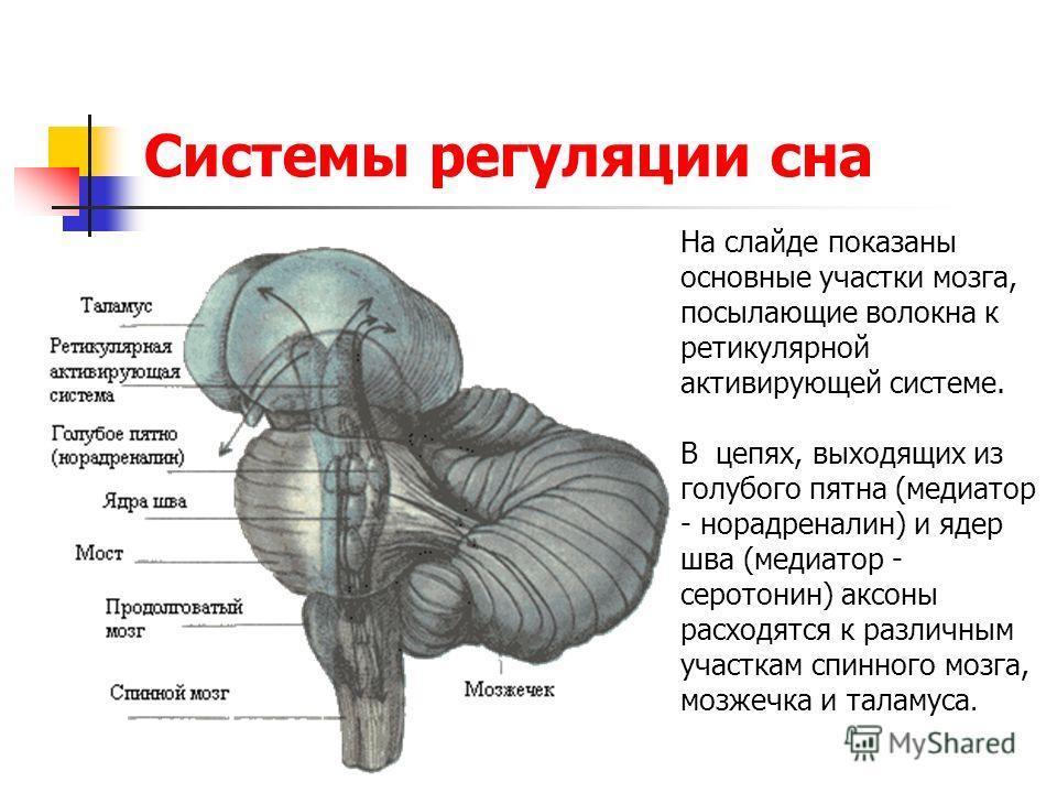 Системы регуляции сна На слайде показаны основные участки мозга, посылающие волокна к ретикулярной активирующей системе. В цепях, выходящих из голубого пятна (медиатор - норадреналин) и ядер шва (медиатор - серотонин) аксоны расходятся к различным уч