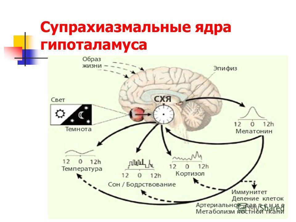Супрахиазмальные ядра гипоталамуса