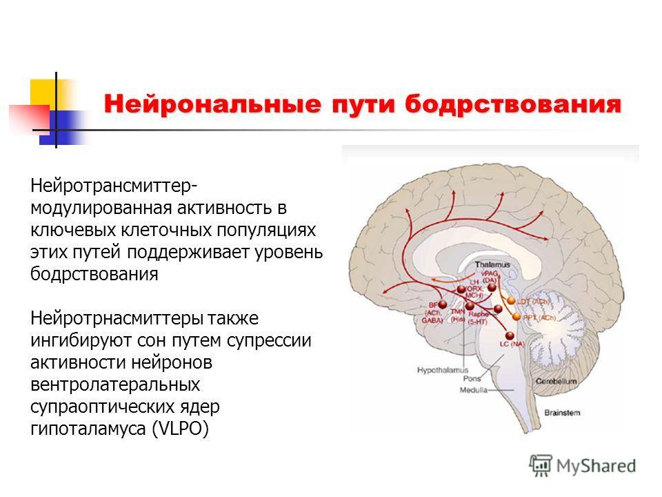 Нейрональные пути бодрствования Нейротрансмиттер- модулированная активность в ключевых клеточных популяциях этих путей поддерживает уровень бодрствования Нейротрнасмиттеры также ингибируют сон путем супрессии активности нейронов вентролатеральных суп