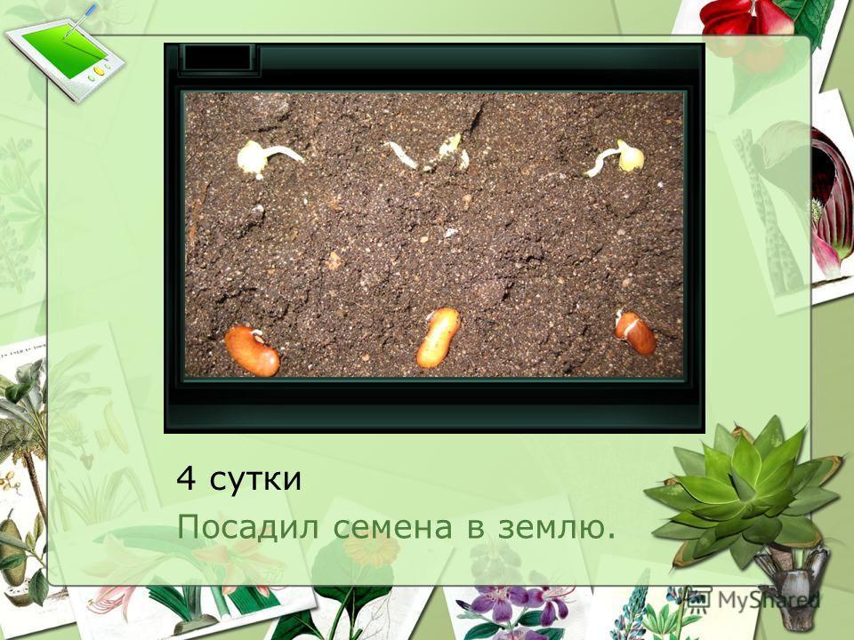 4 сутки Посадил семена в землю.