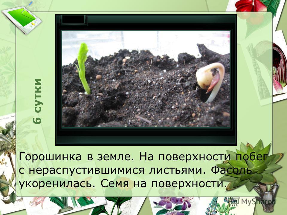 6 сутки Горошинка в земле. На поверхности побег с нераспустившимися листьями. Фасоль укоренилась. Семя на поверхности.