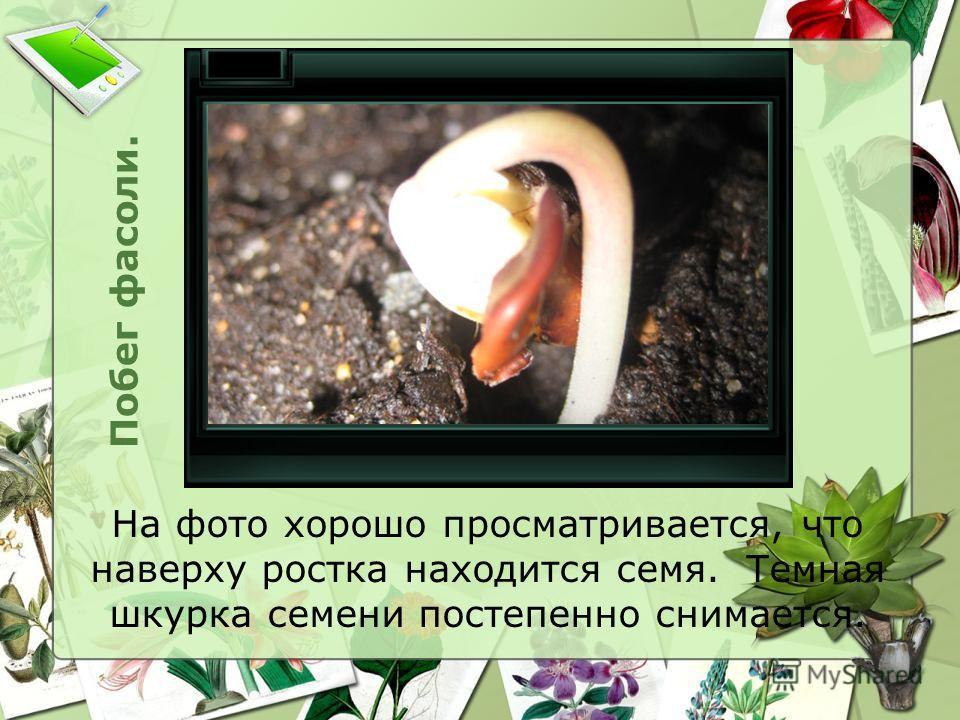 Побег фасоли. На фото хорошо просматривается, что наверху ростка находится семя. Темная шкурка семени постепенно снимается.