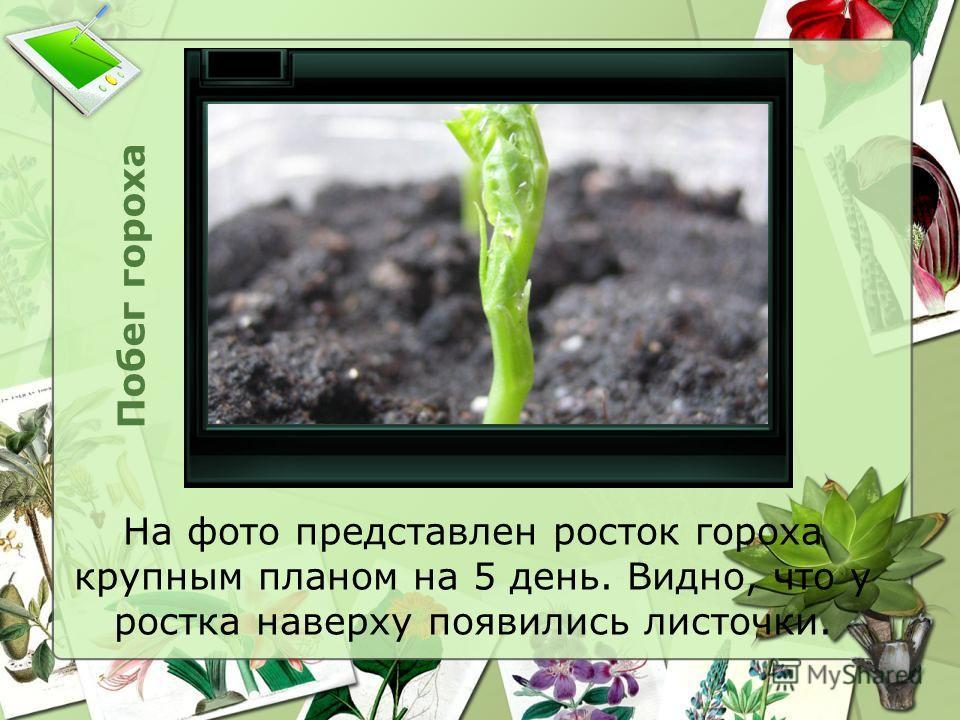 Побег гороха На фото представлен росток гороха крупным планом на 5 день. Видно, что у ростка наверху появились листочки.