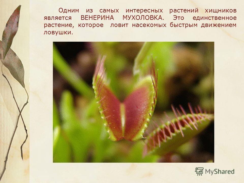 Одним из самых интересных растений хищников является ВЕНЕРИНА МУХОЛОВКА. Это единственное растение, которое ловит насекомых быстрым движением ловушки.