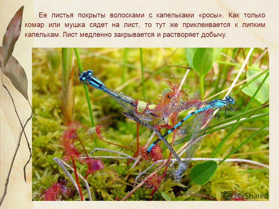 Ее листья покрыты волосками с капельками «росы». Как только комар или мушка сядет на лист, то тут же приклеивается к липким капелькам. Лист медленно закрывается и растворяет добычу.