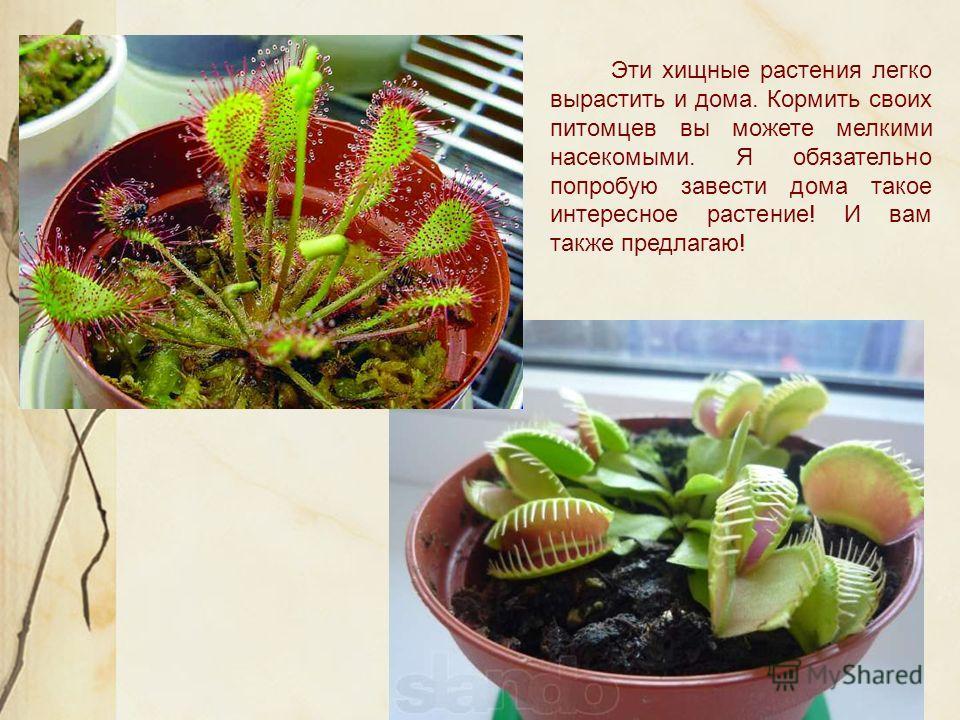 Эти хищные растения легко вырастить и дома. Кормить своих питомцев вы можете мелкими насекомыми. Я обязательно попробую завести дома такое интересное растение! И вам также предлагаю!