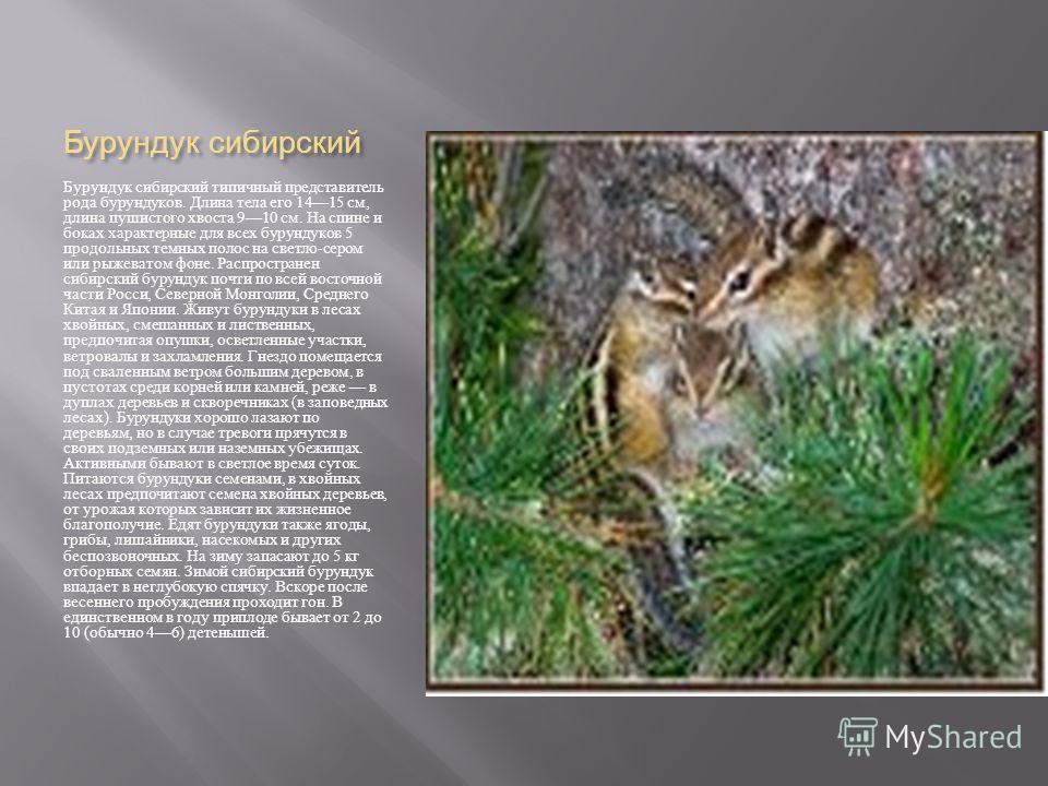 Бурундук сибирский Бурундук сибирский типичный представитель рода бурундуков. Длина тела его 1415 см, длина пушистого хвоста 910 см. На спине и боках характерные для всех бурундуков 5 продольных темных полос на светло - сером или рыжеватом фоне. Расп