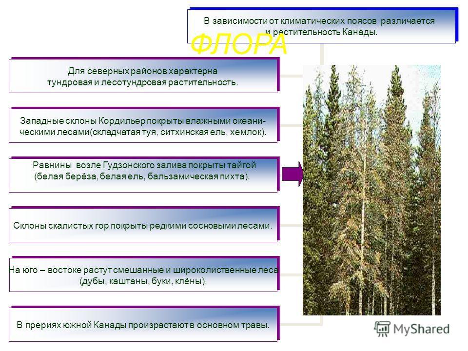 В зависимости от климатических поясов различается и растительность Канады. Для северных районов характерна тундровая и лесотундровая растительность. Западные склоны Кордильер покрыты влажными океани- ческими лесами(складчатая туя, ситхинская ель, хем