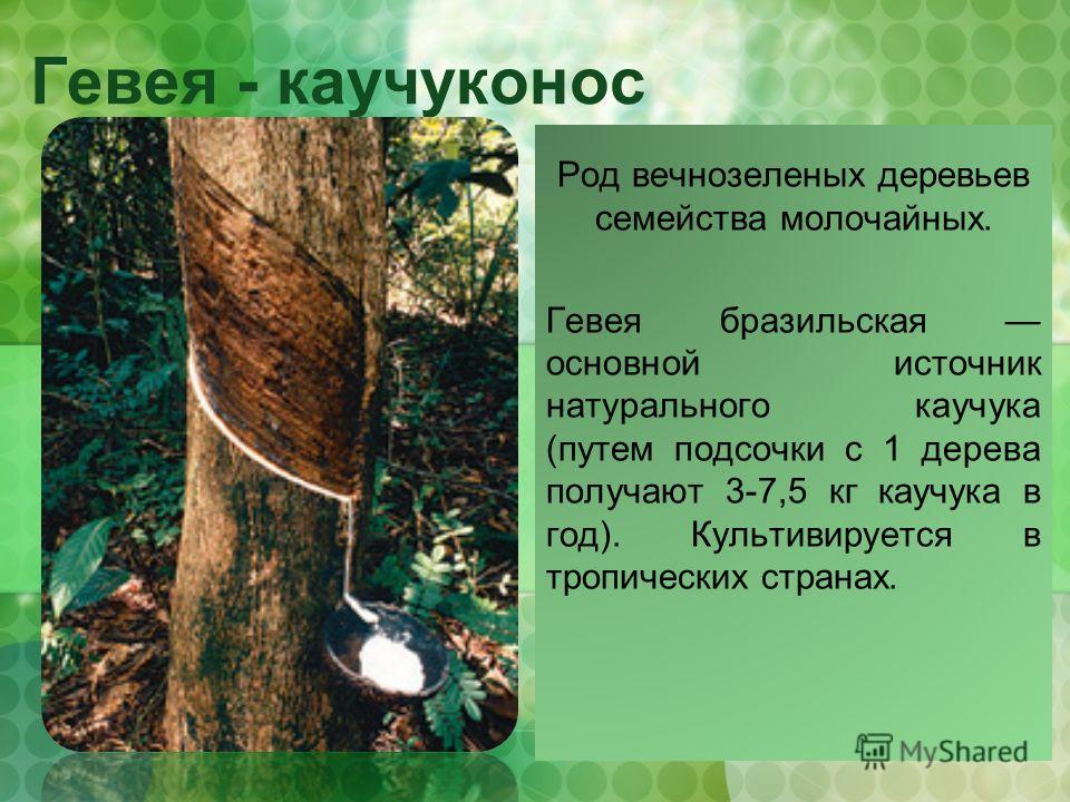 Гевея - каучуконос Род вечнозеленых деревьев семейства молочайных. Гевея бразильская основной источник натурального каучука (путем подсочки с 1 дерева получают 3-7,5 кг каучука в год). Культивируется в тропических странах.