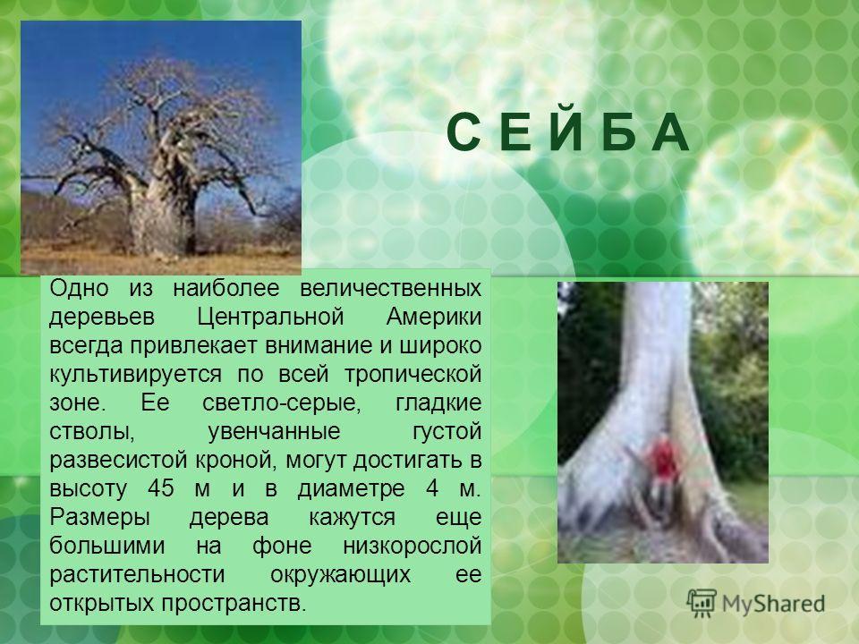 С Е Й Б А Одно из наиболее величественных деревьев Центральной Америки всегда привлекает внимание и широко культивируется по всей тропической зоне. Ее светло-серые, гладкие стволы, увенчанные густой развесистой кроной, могут достигать в высоту 45 м и