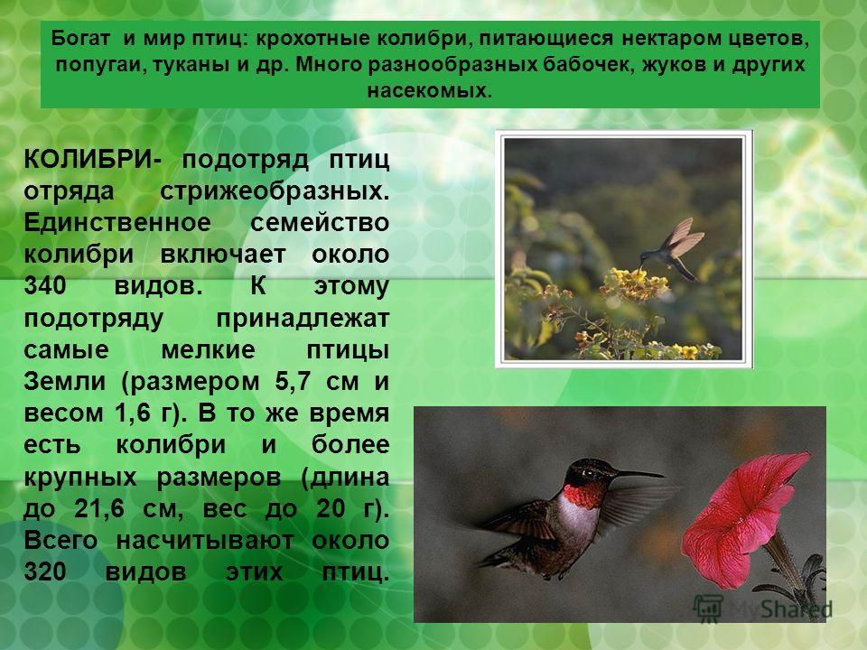 КОЛИБРИ- подотряд птиц отряда стрижеобразных. Единственное семейство колибри включает около 340 видов. К этому подотряду принадлежат самые мелкие птицы Земли (размером 5,7 см и весом 1,6 г). В то же время есть колибри и более крупных размеров (длина