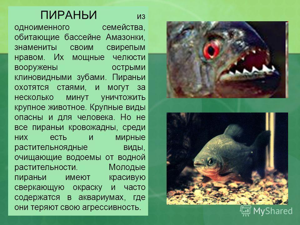 ПИРАНЬИ из одноименного семейства, обитающие бассейне Амазонки, знамениты своим свирепым нравом. Их мощные челюсти вооружены острыми клиновидными зубами. Пираньи охотятся стаями, и могут за несколько минут уничтожить крупное животное. Крупные виды оп