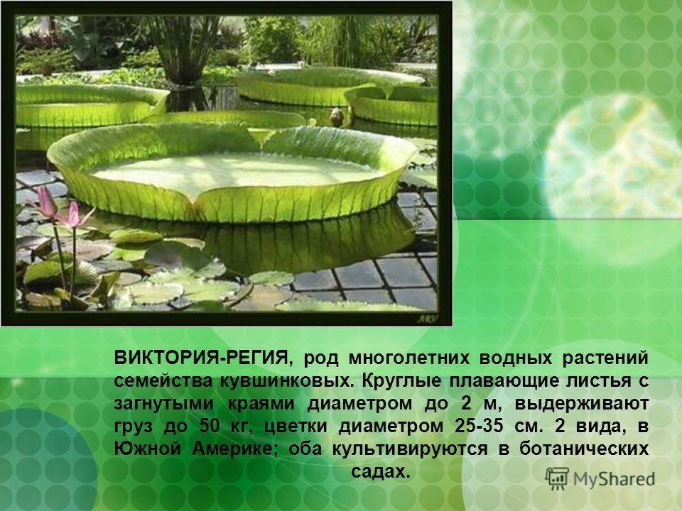 ВИКТОРИЯ-РЕГИЯ, род многолетних водных растений семейства кувшинковых. Круглые плавающие листья с загнутыми краями диаметром до 2 м, выдерживают груз до 50 кг, цветки диаметром 25-35 см. 2 вида, в Южной Америке; оба культивируются в ботанических сада