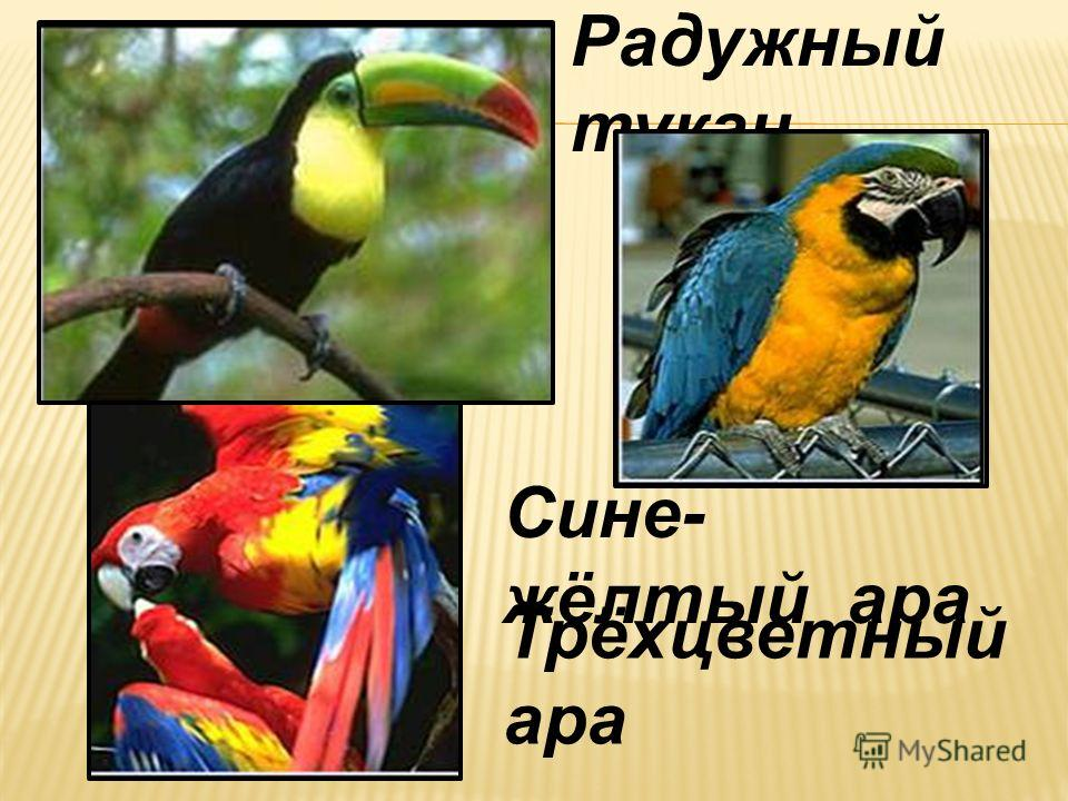 Сине- жёлтый ара Трёхцветный ара Радужный тукан