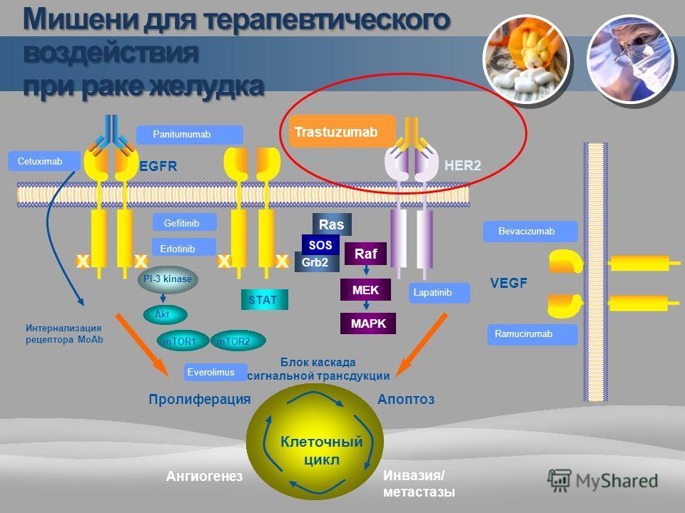 Grb2 Trastuzumab Raf MEK MAPK Ras SOS PI-3 kinase Gefitinib Akt STAT Интернализация рецептора MoAb HER2 Клеточный цикл ПролиферацияАпоптоз Инвазия/ метастазы Ангиогенез Блок каскада сигнальной трансдукции Cetuximab Panitumumab Erlotinib EGFR Bevacizu