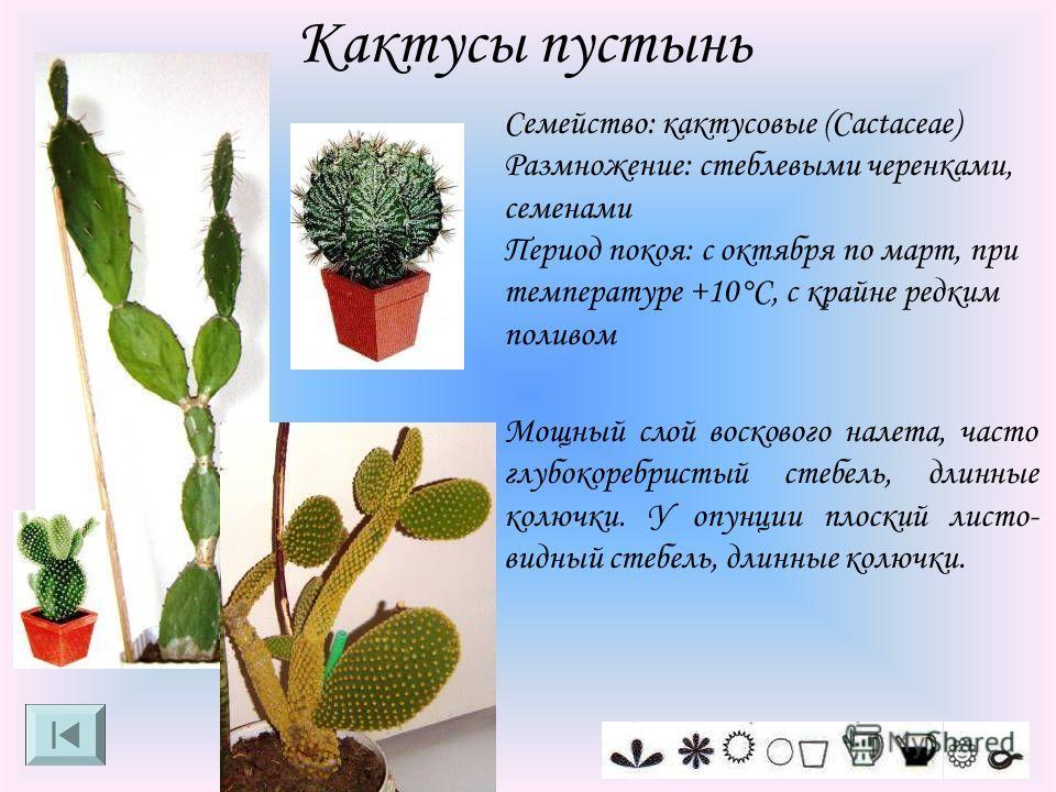 Кактусы пустынь Семейство: кактусовые (Cactaceae) Размножение: стеблевыми черенками, семенами Период покоя: с октября по март, при температуре +10°C, с крайне редким поливом Мощный слой воскового налета, часто глубокоребристый стебель, длинные колючк