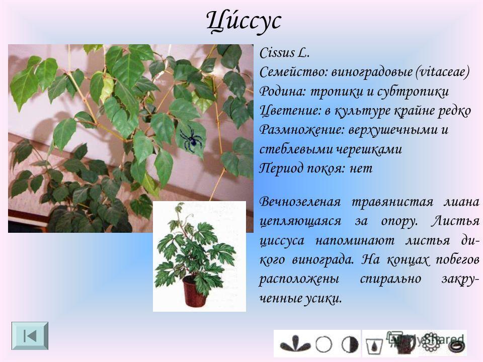 Цúссус Cissus L. Семейство: виноградовые (vitaceae) Родина: тропики и субтропики Цветение: в культуре крайне редко Размножение: верхушечными и стеблевыми черешками Период покоя: нет Вечнозеленая травянистая лиана цепляющаяся за опору. Листья циссуса
