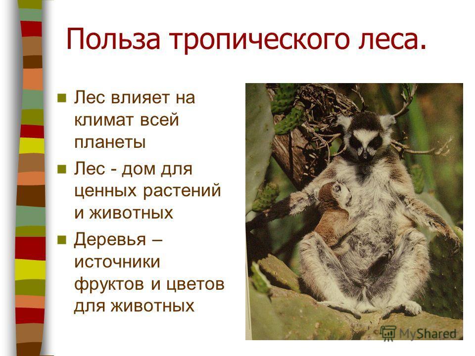 Польза тропического леса. Лес влияет на климат всей планеты Лес - дом для ценных растений и животных Деревья – источники фруктов и цветов для животных