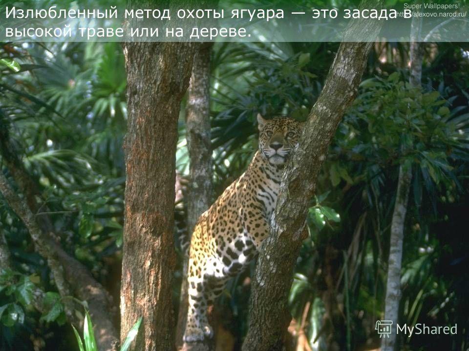 Ягуары ведут бродячий образ жизни. Активны на рассвете и в сумерках.