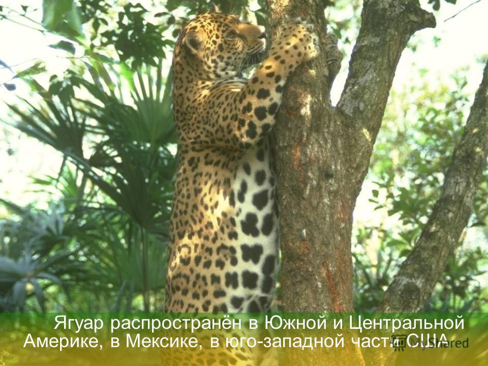 Цель работы: Узнать о жизни ягуаров Задачи, которые я поставила перед собой: выяснить где обитают ягуары, чем питаются, какой ведут образ жизни, чем ягуар отличается от леопарда.