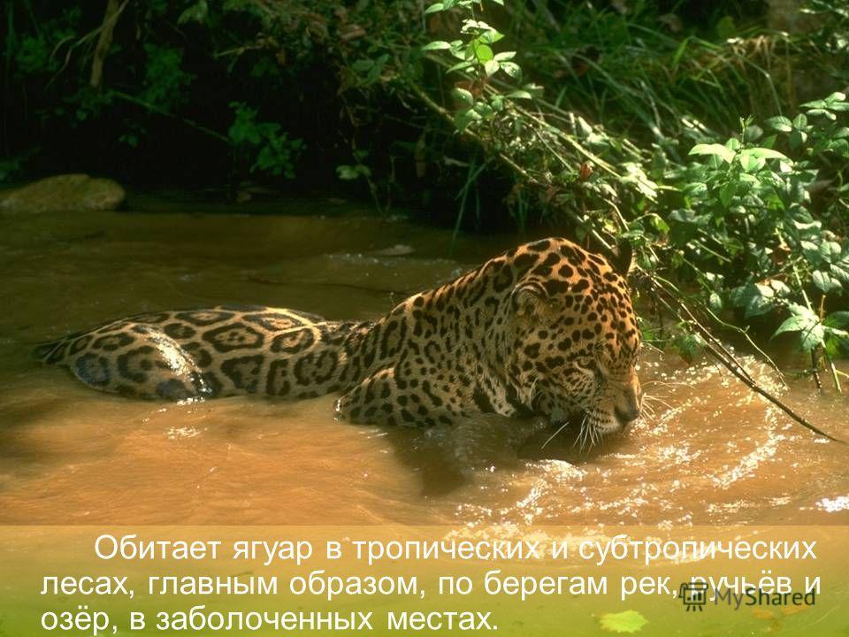 Ныне этот хищник встречается только в глухих уголках Центральной и Южной Америки.