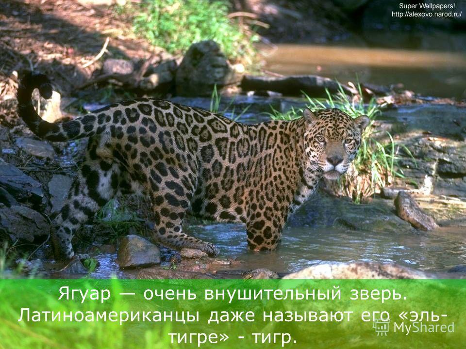 Ягуар – самый крупный, самый могучий представитель семейства кошачьих в Западном полушарии.