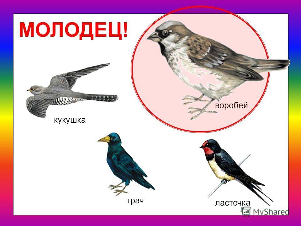 Какая птица - лишняя? воробей грач кукушка ласточка