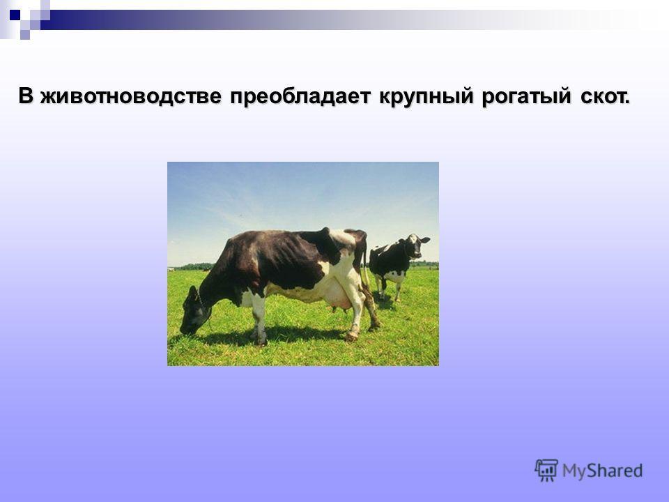 В животноводстве преобладает крупный рогатый скот.