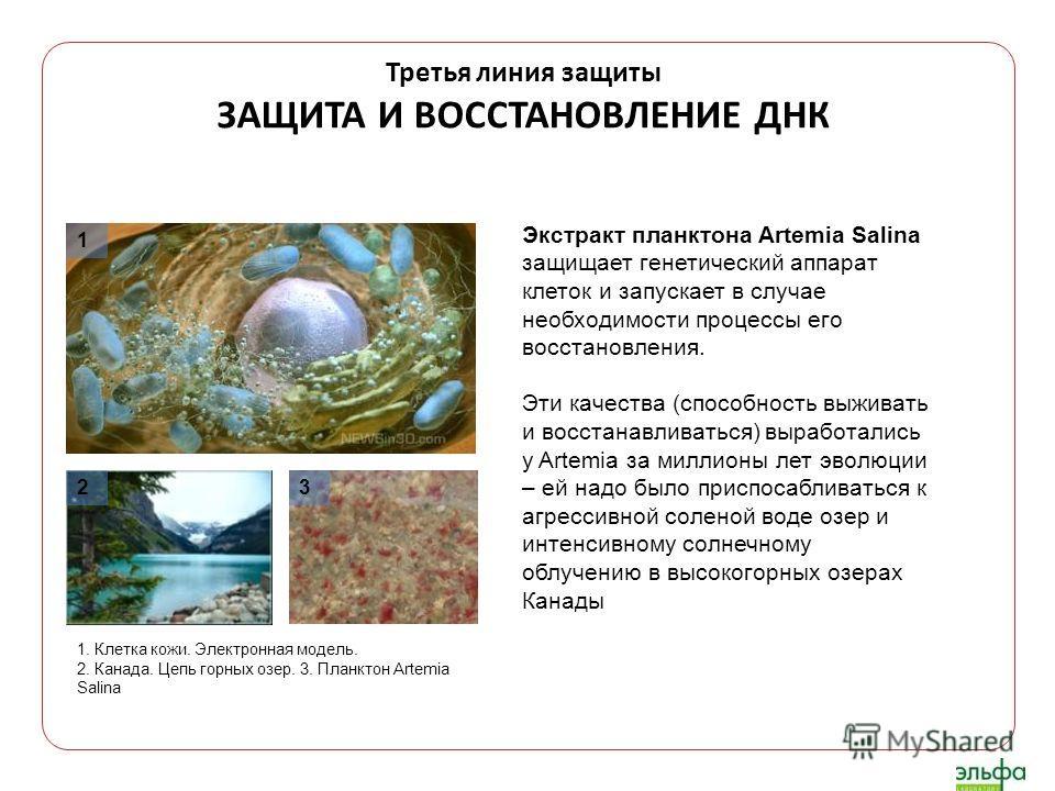 Третья линия защиты ЗАЩИТА И ВОССТАНОВЛЕНИЕ ДНК Экстракт планктона Artemia Salina защищает генетический аппарат клеток и запускает в случае необходимости процессы его восстановления. Эти качества (способность выживать и восстанавливаться) выработалис