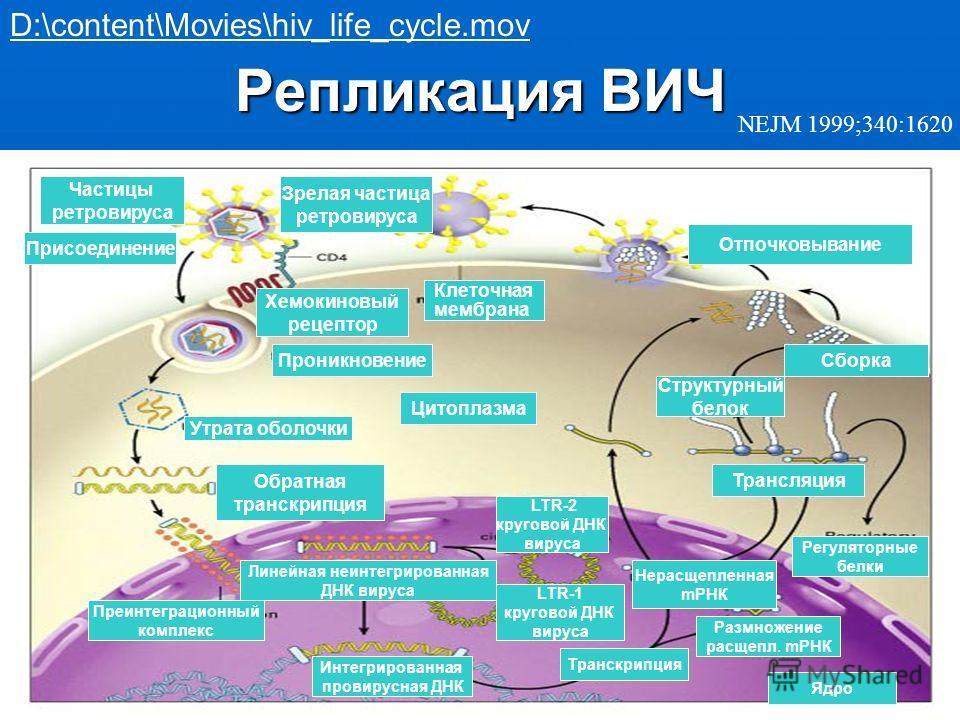 Репликация ВИЧ NEJM 1999;340:1620 D:\content\Movies\hiv_life_cycle.mov Клеточная мембрана Цитоплазма Проникновение Обратная транскрипция Хемокиновый рецептор Присоединение Частицы ретровируса Зрелая частица ретровируса Отпочковывание Сборка Структурн