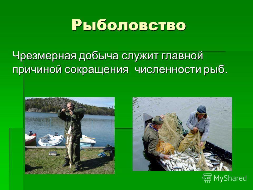 Рыболовство Чрезмерная добыча служит главной причиной сокращения численности рыб.