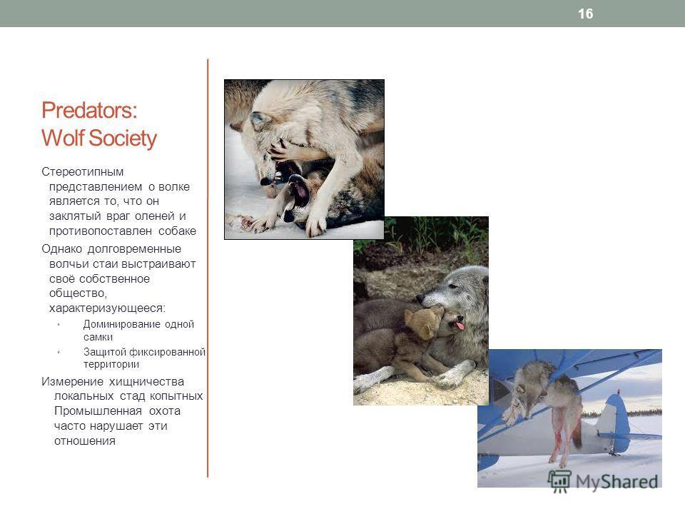 Predators: Wolf Society Стереотипным представлением о волке является то, что он заклятый враг оленей и противопоставлен собаке Однако долговременные волчьи стаи выстраивают своё собственное общество, характеризующееся: Доминирование одной самки Защит