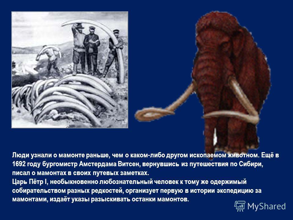 Люди узнали о мамонте раньше, чем о каком-либо другом ископаемом животном. Ещё в 1692 году бургомистр Амстердама Витсен, вернувшись из путешествия по Сибири, писал о мамонтах в своих путевых заметках. Царь Пётр I, необыкновенно любознательный человек