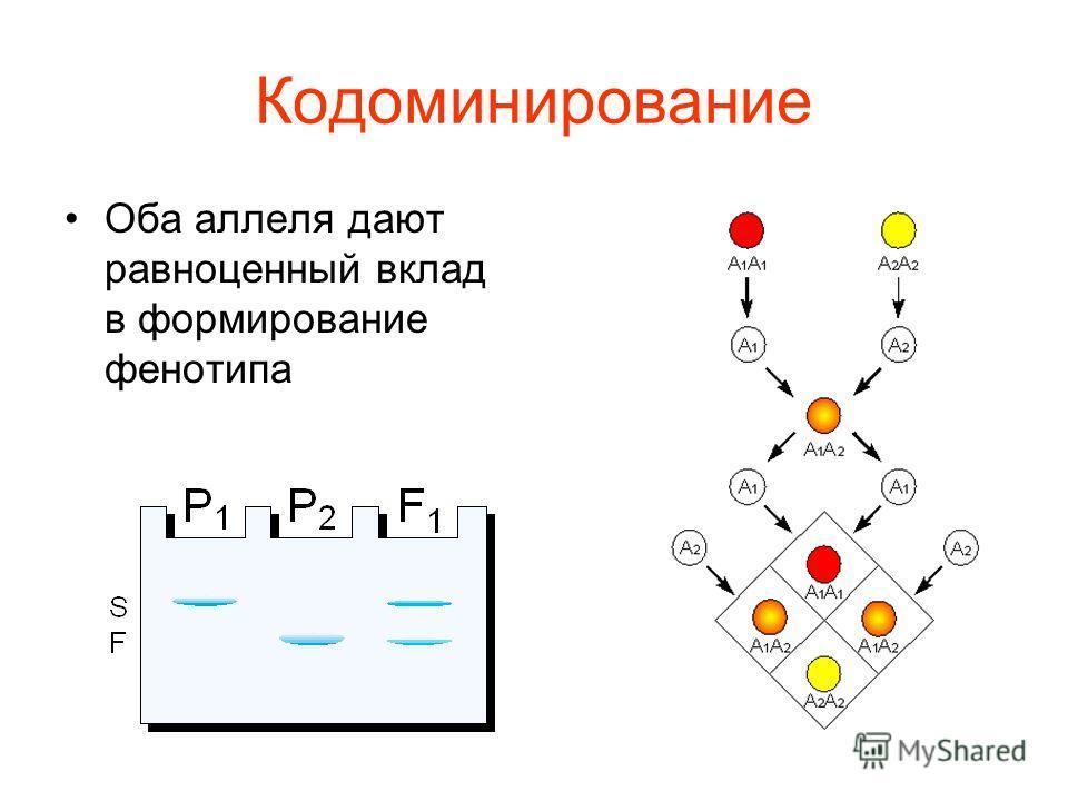 Кодоминирование Оба аллеля дают равноценный вклад в формирование фенотипа