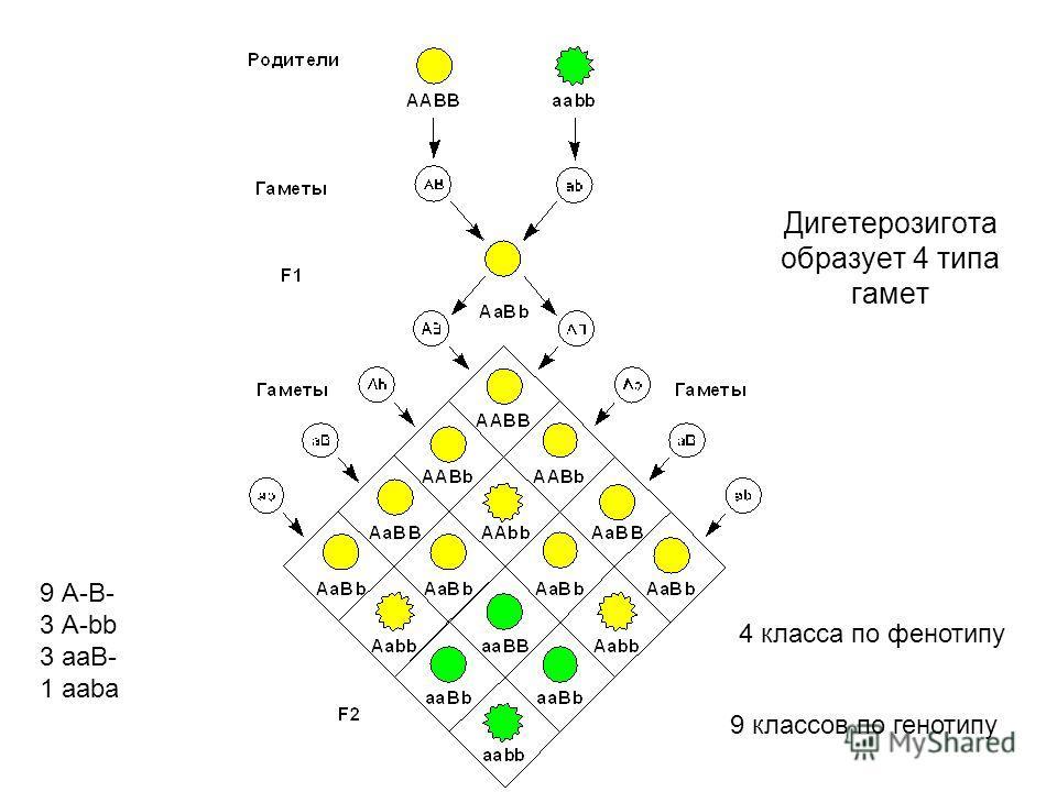 Дигетерозигота образует 4 типа гамет 4 класса по фенотипу 9 классов по генотипу 9 А-В- 3 А-bb 3 аaВ- 1 aaba
