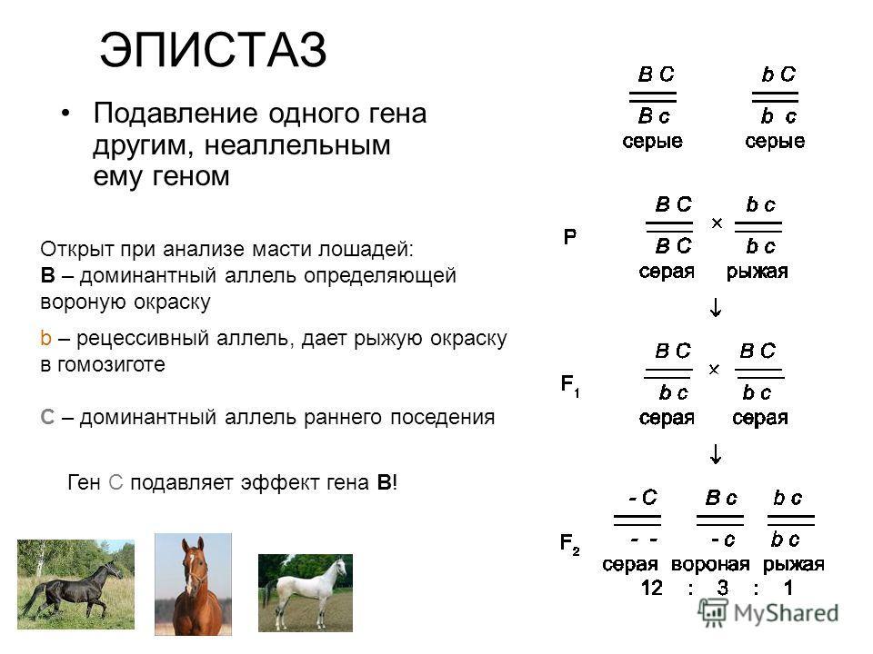 ЭПИСТАЗ Подавление одного гена другим, неаллельным ему геном Открыт при анализе масти лошадей: B – доминантный аллель определяющей вороную окраску b – рецессивный аллель, дает рыжую окраску в гомозиготе С – доминантный аллель раннего поседения Ген C