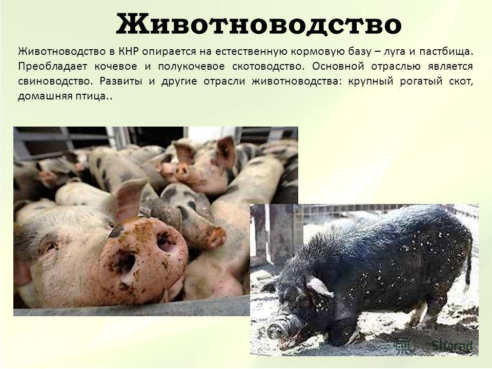 Животноводство Животноводство в КНР опирается на естественную кормовую базу – луга и пастбища. Преобладает кочевое и полукочевое скотоводство. Основной отраслью является свиноводство. Развиты и другие отрасли животноводства: крупный рогатый скот, дом