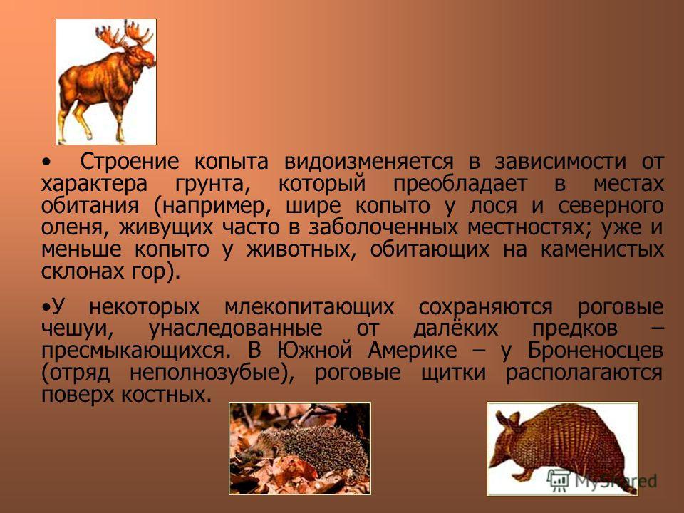 Строение копыта видоизменяется в зависимости от характера грунта, который преобладает в местах обитания (например, шире копыто у лося и северного оленя, живущих часто в заболоченных местностях; уже и меньше копыто у животных, обитающих на каменистых