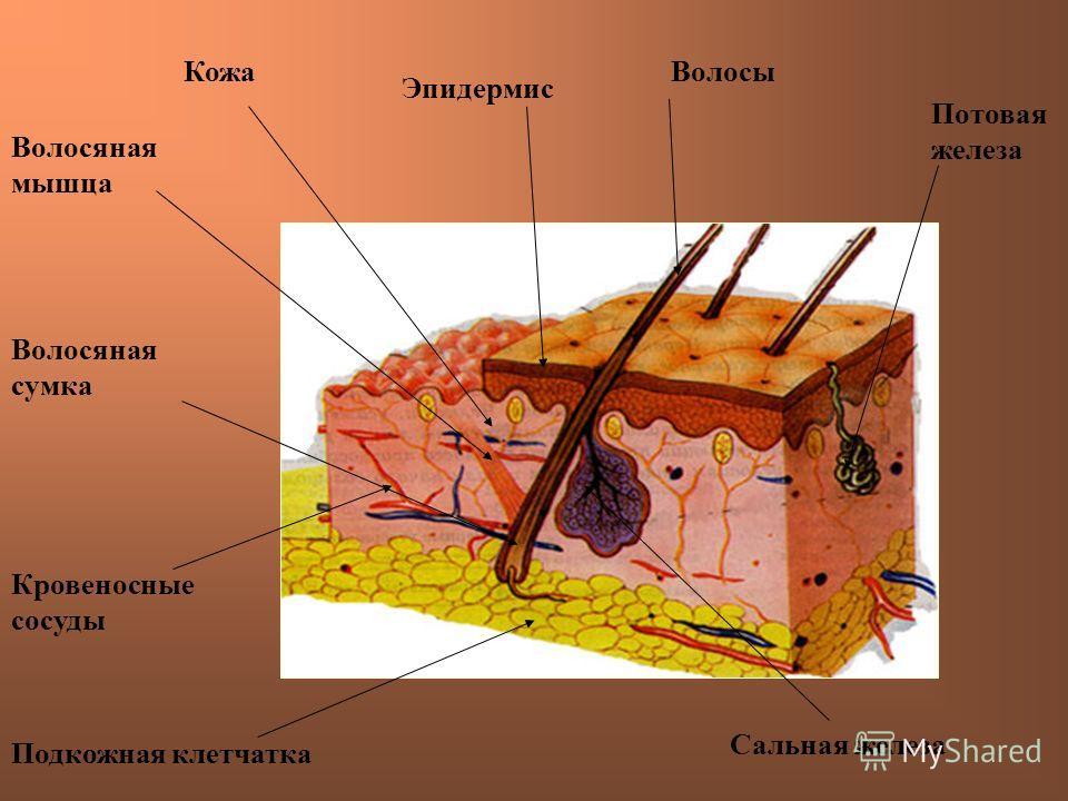 КожаВолосы Сальная железа Потовая железа Подкожная клетчатка Кровеносные сосуды Волосяная сумка Волосяная мышца Эпидермис